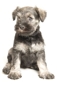 Kennel Club schnauzer puppies