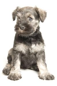 Kennel Club schnauzer puppies