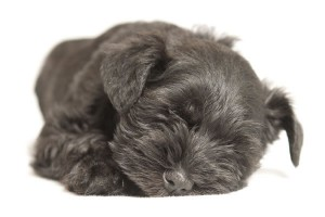 Trystheart schnauzer puppy