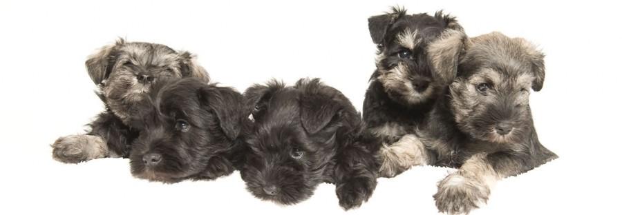 Miniature schnauzer dogs
