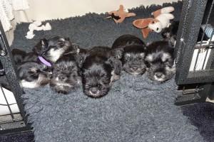 Newborn schnauzer puppies