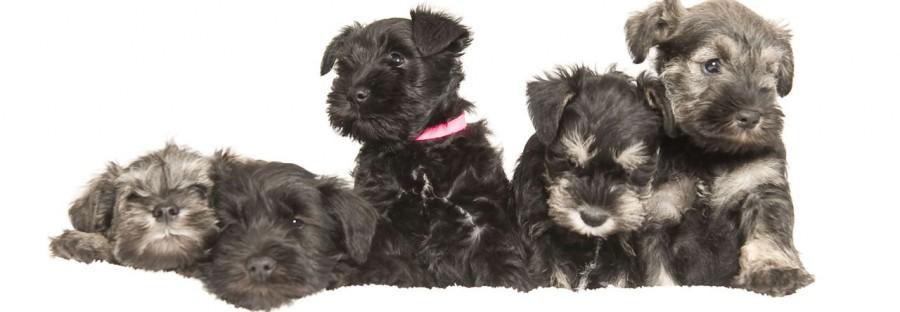 Schnauzer pups