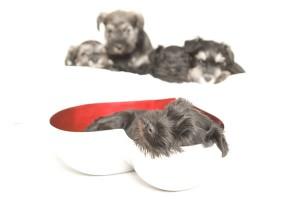 Trystheart schnauzer pups